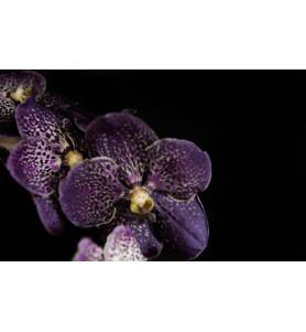 Ванда — Фіолетова